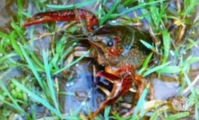 养小龙虾池塘消毒粉该如何处理呢?