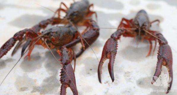 小龙虾养殖小龙虾脱壳周期一般是多久