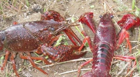 小龙虾溃疡病怎么办?小龙虾溃疡病的治疗方法