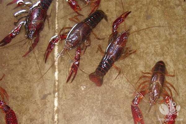 小龙虾黑鳃病怎么办?