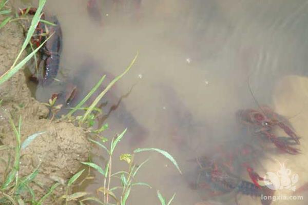 小龙虾烂鳃病的防治方法