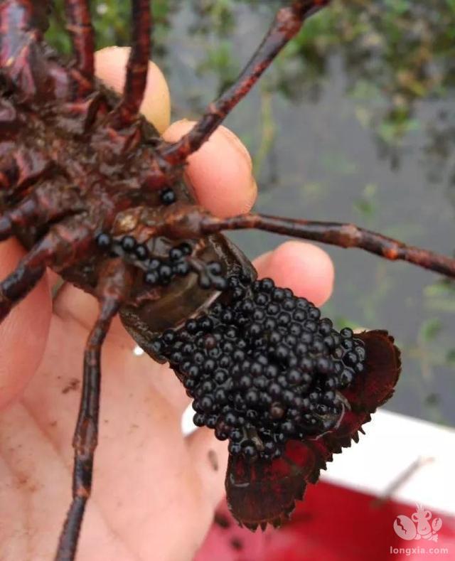 养殖小龙虾怎么才能科学提高小龙虾抱卵量?听听龙虾养殖专家给你分析