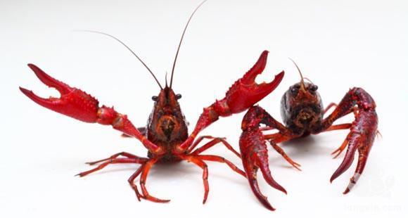 小龙虾四种疾病诊断方法