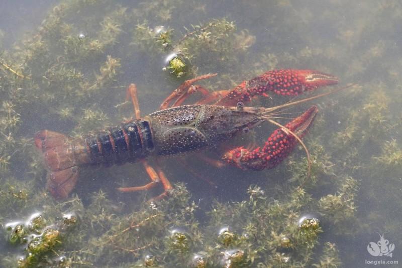 小龙虾养殖周期