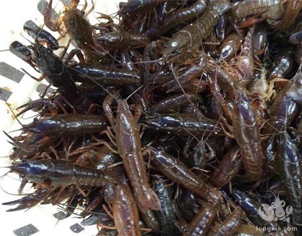 越冬种虾的挑选,将直接影响到小龙虾养殖户来年的收益,请提前收藏