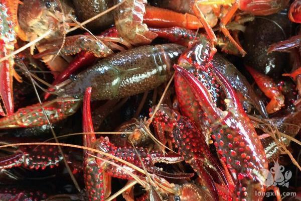 如何让小龙虾快速生长,品质好规格大?