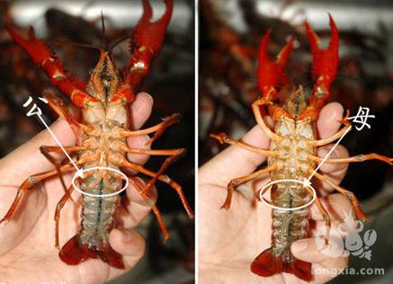 小龙虾的雌雄鉴别和繁殖技术