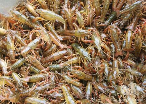 小龙虾放苗淹洞需要注意哪些问题?
