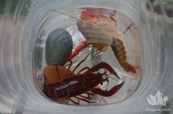 龙虾蜕壳的时候,我们要注意什么?做到了就可以让龙虾产量翻一番