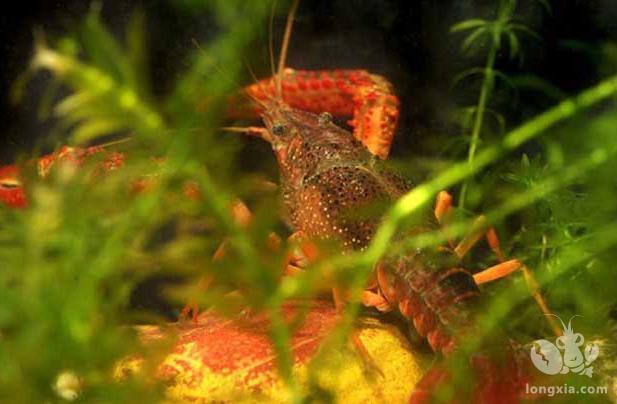 小龙虾养殖10月管理技术要点