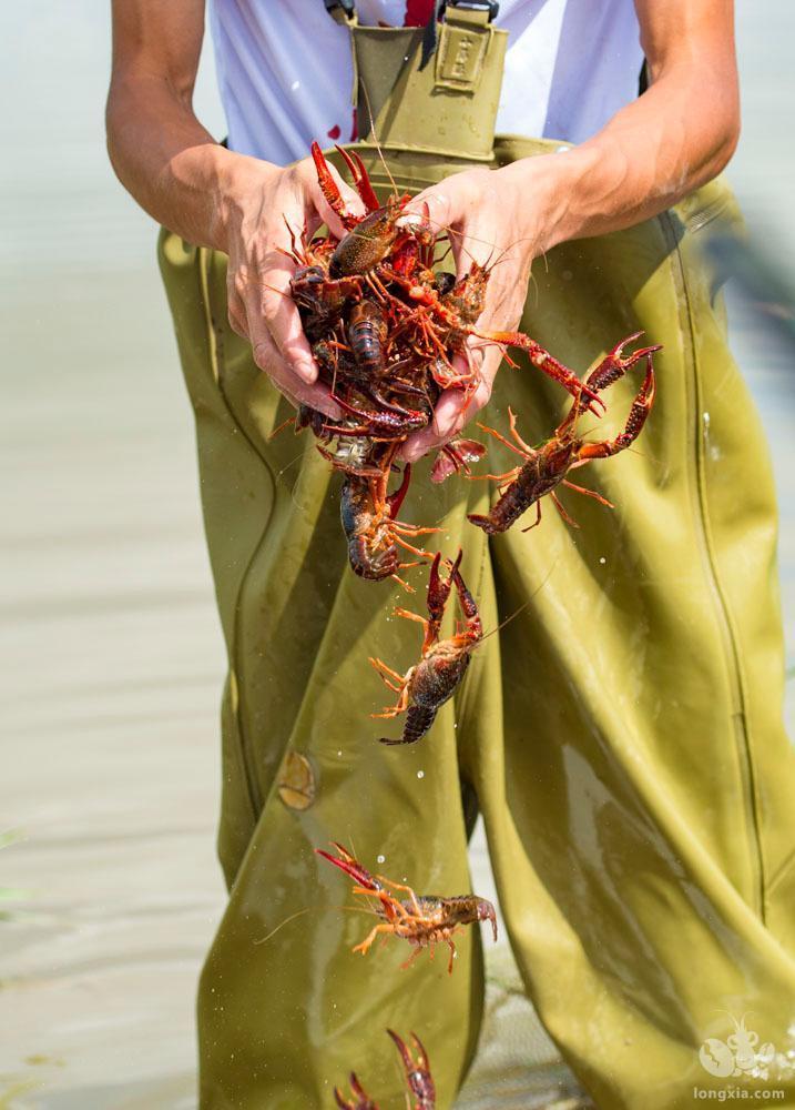 养得好不如捕得好,高温期如何捕捞小龙虾?