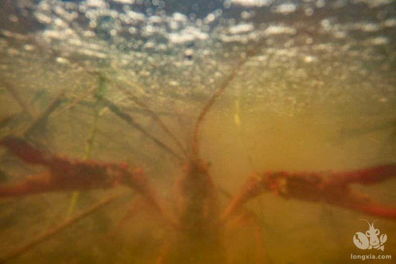 小龙虾适合在什么地方养殖?小龙虾适合的水温是多少?