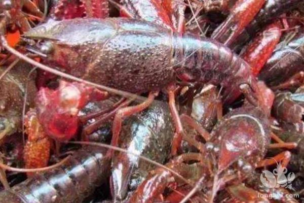 室内立体养殖小龙虾技术优势及小龙虾养殖池塘水质调控技术