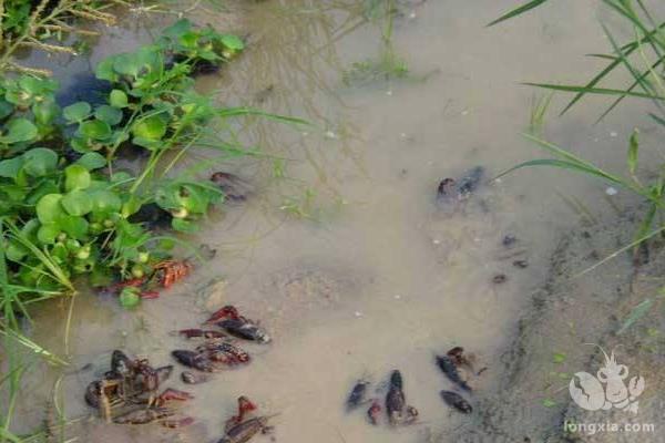 养小龙虾池塘怎么消毒呢?