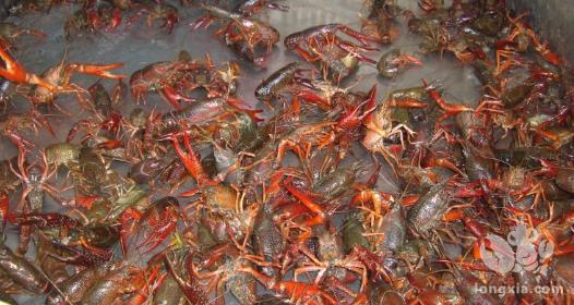 小龙虾虾苗放养注意事项
