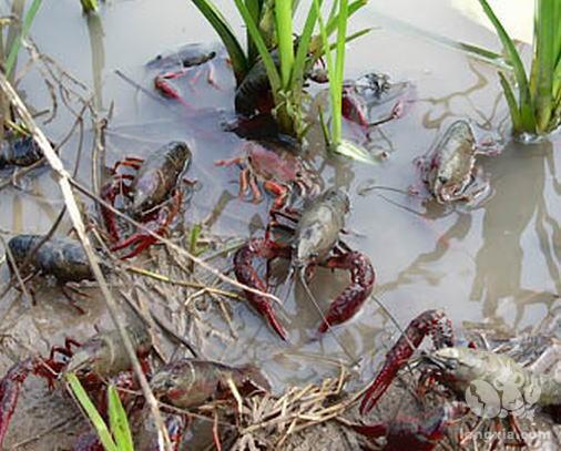 小龙虾三种常见疾病的防治