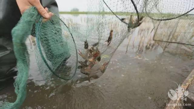 """小龙虾养殖,一年之计在于冬"""",冬季小龙虾养殖技术"""