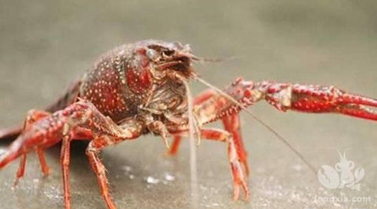 小龙虾都吃什么食物长大的