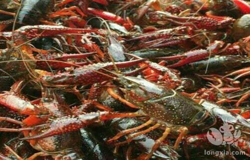 想要来年小龙虾早出苗早上市,小龙虾秋冬季节要这样管理!