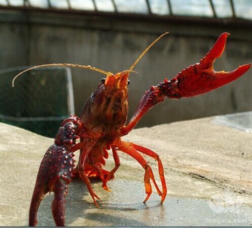养小龙虾要注意哪些问题?