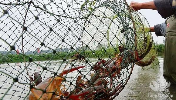 提高小龙虾苗下塘成活率,做好这八点很关键!