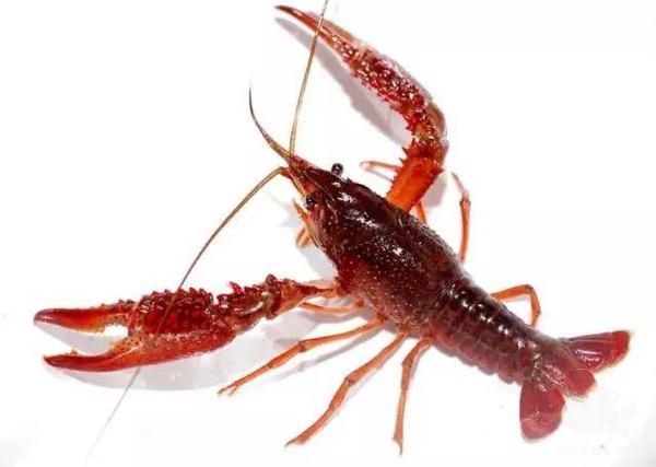 小龙虾稚虾阶段主要摄食什么?小龙虾饲料投喂注意事项