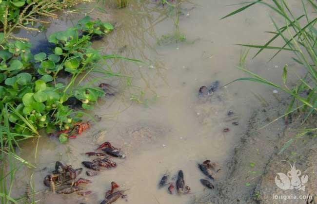 小龙虾养殖中,常说的解毒和消毒有什么区别?