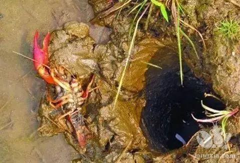 引起小龙虾蜕壳死亡的原因是什么?