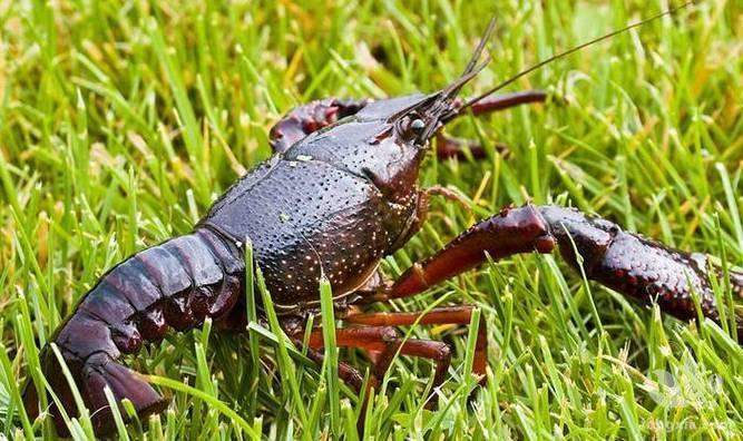 养虾初期为什么很难肥的起来?