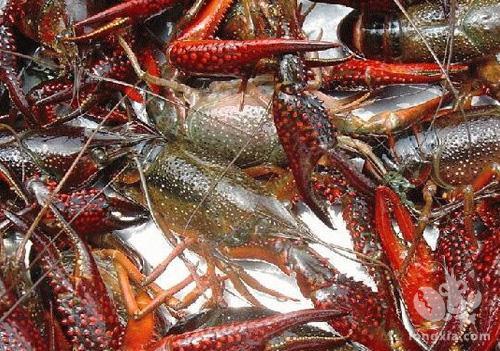 小龙虾密度大怎么办?