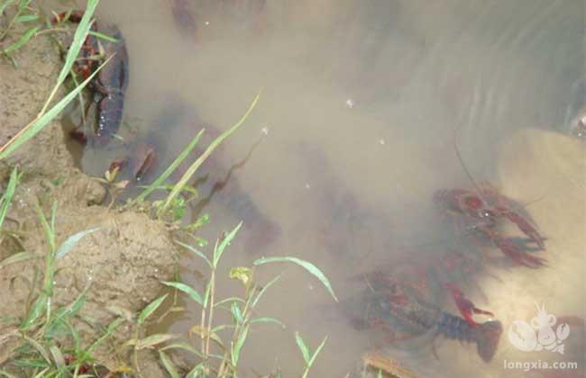 稻田套养小龙虾的常见疾病预防