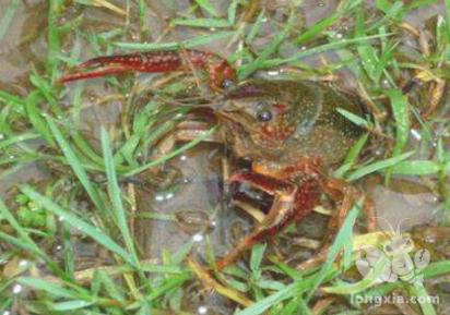 小龙虾如何池塘养殖?小龙虾池塘养殖注意哪些细节?