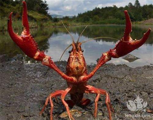 养殖小龙虾须知的要点有哪些?