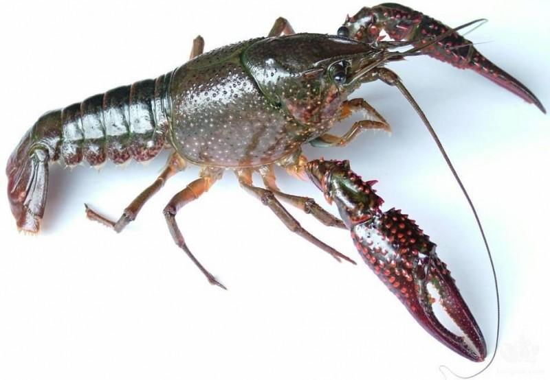 小龙虾甲壳呈暗绿色应辨症施治