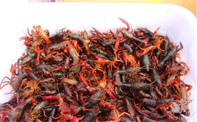 养殖小龙虾的五大要点,一个不注意,可能就是血本无归