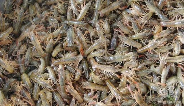 小龙虾养殖如何投放虾苗成活率高?