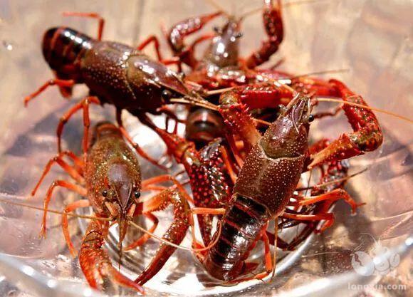小龙虾虾苗的成活率不足30%?从这几方面入手提高种苗繁殖成活率