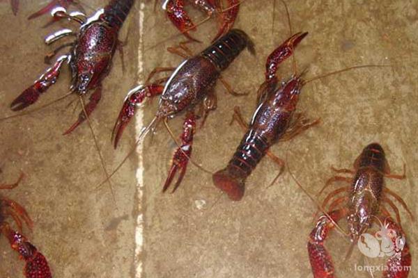 从市场买几斤小龙虾放入长满杂草的野塘,小龙虾会繁衍成灾吗?