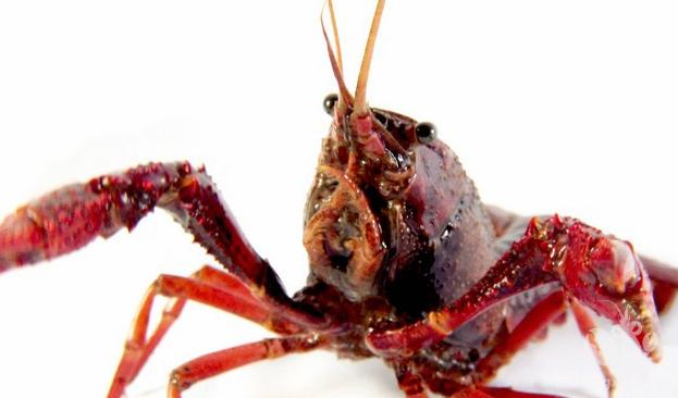 养小龙虾一亩地挣得到多少钱?