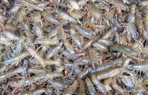 小龙虾种苗精养殖技术