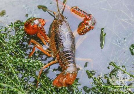 池塘里的虾越来越少?小龙虾互相残杀太严重,到底有哪些原因?