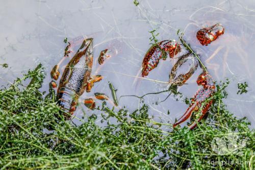 如何提高小龙虾免疫力,安稳越冬?
