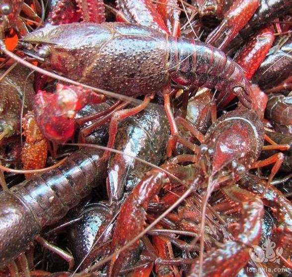 小龙虾的养殖以及管理技术