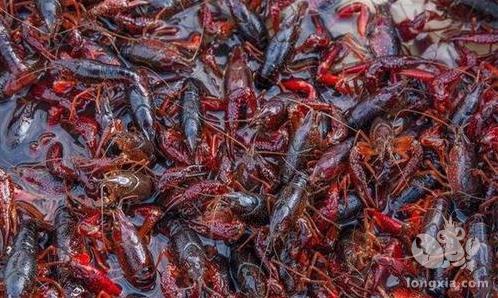 小龙虾养殖模式多种,你熟悉小龙虾精养模式的优势吗?