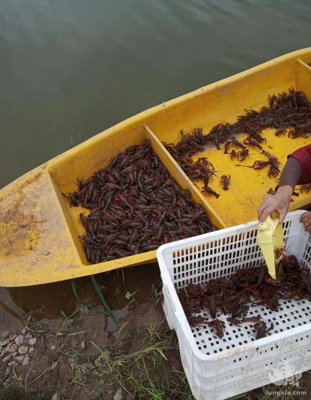 小龙虾养殖过程中如何正确掌握用药的时间间隔?有哪些验证方法?