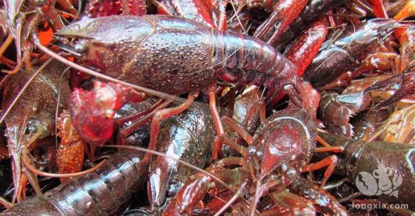 农村饲养小龙虾利润怎么样?