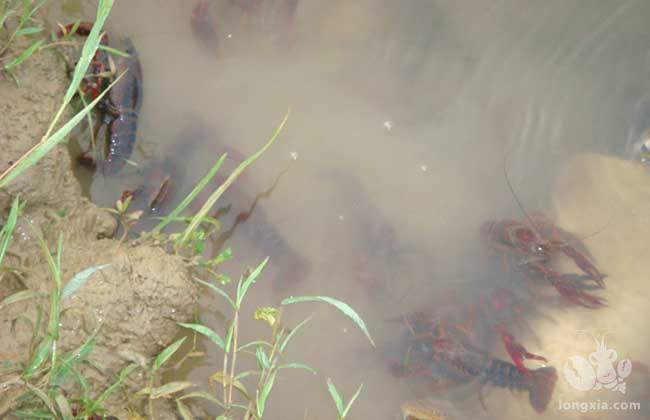 小龙虾抱卵之后不愿意呆在水里是什么原因?