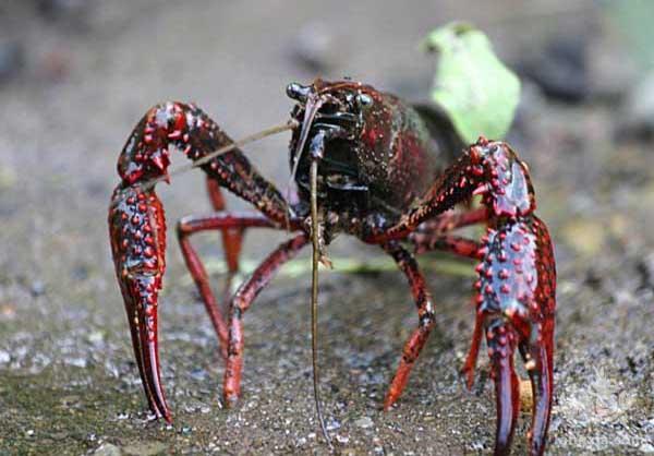 养殖淡水小龙虾技术有哪些?