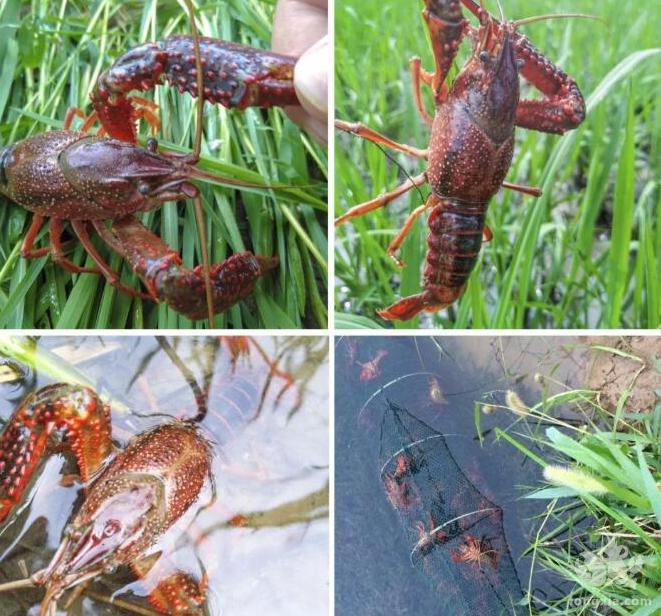 小龙虾的水质怎么调控?