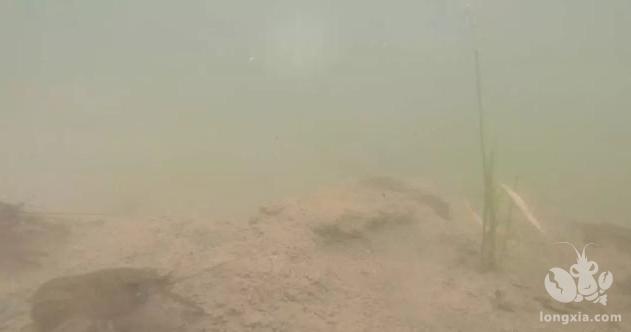 小龙虾稻田里越冬,好水是关键!低温肥水要注意哪些细节?